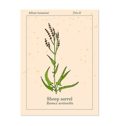Sheep s sorrel rumex acetosella or sour weed vector
