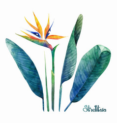 Watercolor strelitzia collection vector