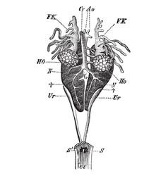 Male edible frog genital organs vintage vector