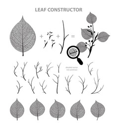 linden leaf and branch fall spring summer vector image