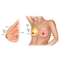 Female breast vector