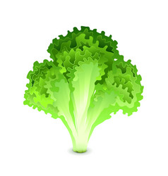 green salad leaves isolated on white vector image vector image