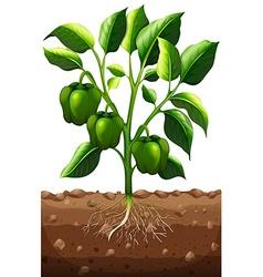 Green capsicum on the branch vector
