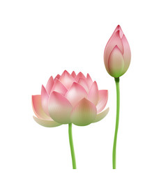 Pink lotus flower vector