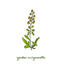 Reseda or mignonette aromatic and medicinal plant vector