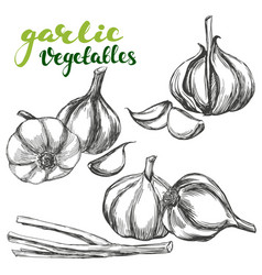 Garlicvegetable set hand drawn vector