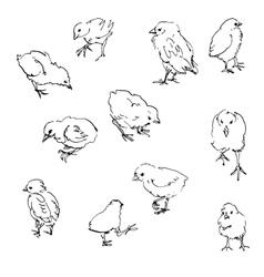 Sketch of chiks vector