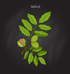 walnut branch juglans regia vector image
