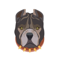 american pit bull breed puppy in dog collar vector image