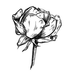 highly detailed hand drawn rose vector image vector image
