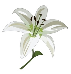 Flower white lily stalk and stamens vector