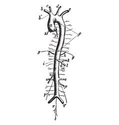Aorta vintage vector