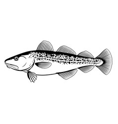 Atlantic cod black and white fish vector