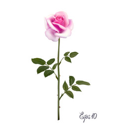 beautiful pink rose isolated on white background vector image