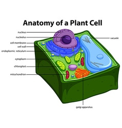 Diagram showing anatomy plant cell vector