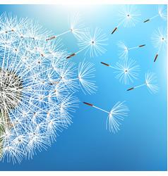 Dandelion blowing on blue background vector