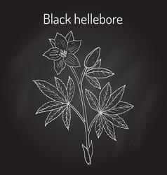 christmas rose or black hellebore evergreen vector image