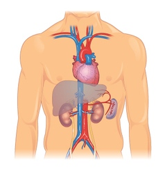 Heart and major organs vector image