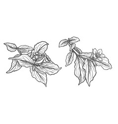 ink pencil the leaves and flowers of apple vector image