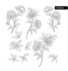 set peony flowers elements botanical vector image