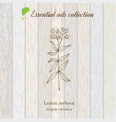 Lemon verbena essential oil label aromatic plant vector