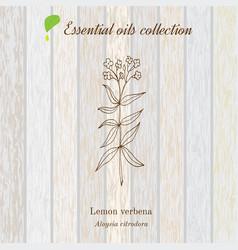 lemon verbena essential oil label aromatic plant vector image