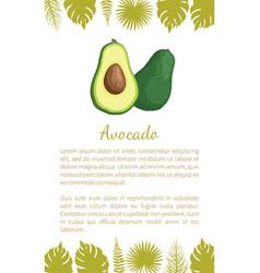 avocado alligator pear exotic juicy fruit vector image