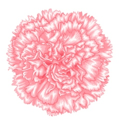 pink carnation isolated on white background vector image vector image