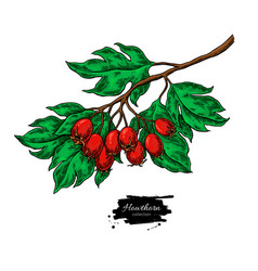 hawthorn branch drawing hand drawn plant vector image