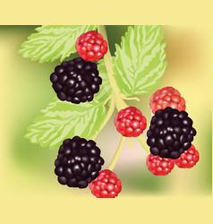 fresh blackberry fruits growing realistic vector image vector image