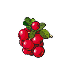 Cranberry hand drawn ripe berries bunch vector