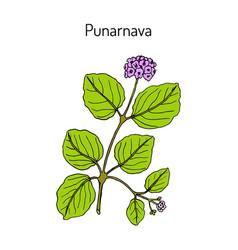 Punarnava boerhavia diffusa medicinal plant vector