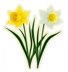yellow and white daffodils vector image