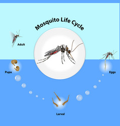 Life cycle mosquitoes vector