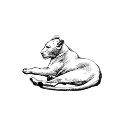 Lioness isolated graphic sketch hatched vector