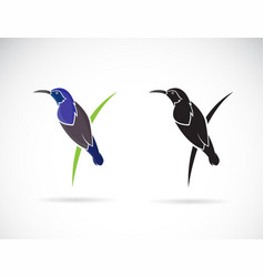 purple sunbirdmale on white background cinnyris vector image