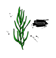 Rosemary drawing isolated plant branch vector