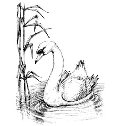 Swan on lake sketch vector image