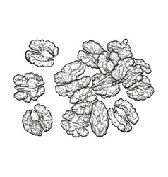 Handful of walnuts vector