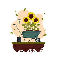 sunflowers cartoon with wheelbarrow and shovel vector image