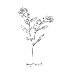 outline forget me not or myosotis flower vector image