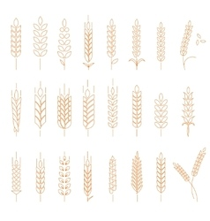 Wheat rye and barley vector