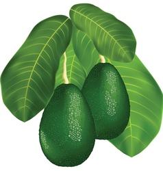avocado branches vector image