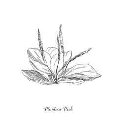 plantain botanical medicinal plant vector image