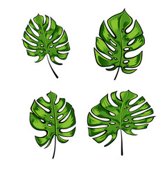 Exotic tropical leaves of monstera leaves isolated vector