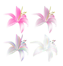 flower lily pink and colored lilium candidum vector image