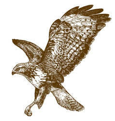 engraving of buzzard vector image