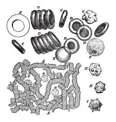 Blood cells vintage vector