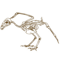 Engraving of bird skeleton vector