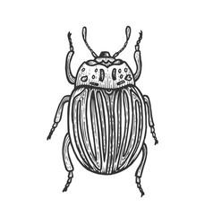 colorado beetle sketch engraving vector image